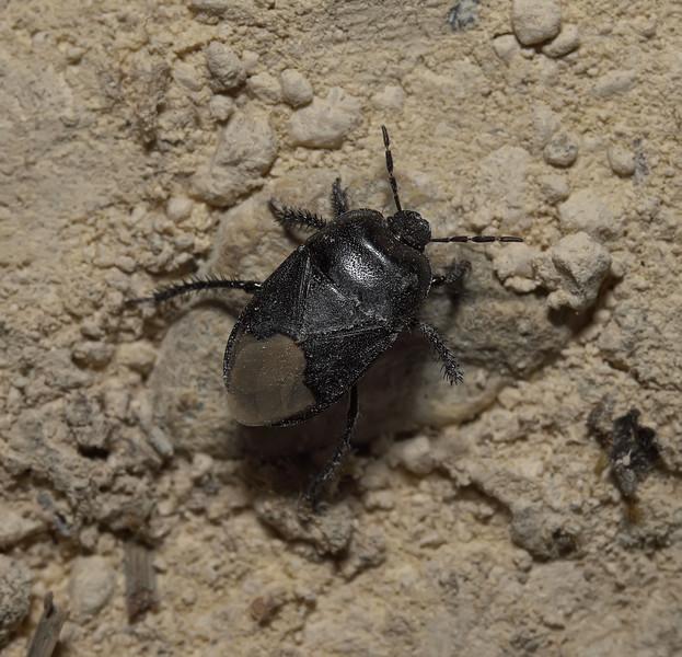 Cydnus aterrimus, April