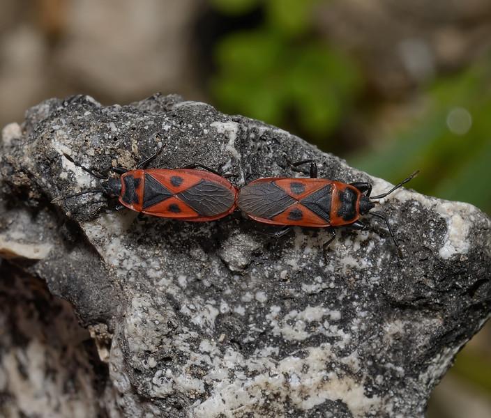 Scantius aegyptius, March