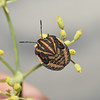 Graphosoma Lineatum nymph, October