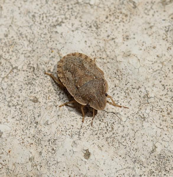 Sciocoris sp, March