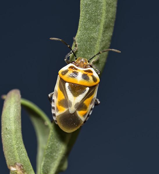 Eurydema ornata, October
