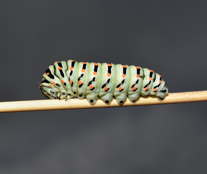 Papilio machaon ssp. melitensis larva, October
