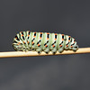 Papilio machaon ssp. melitensis larva, October