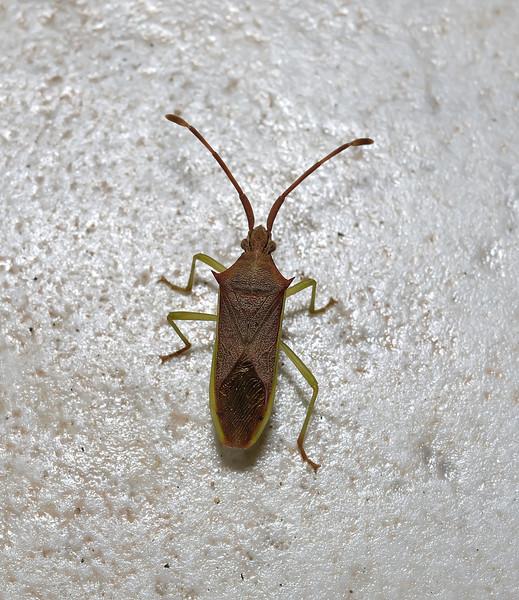 Plinachtus imitator, March