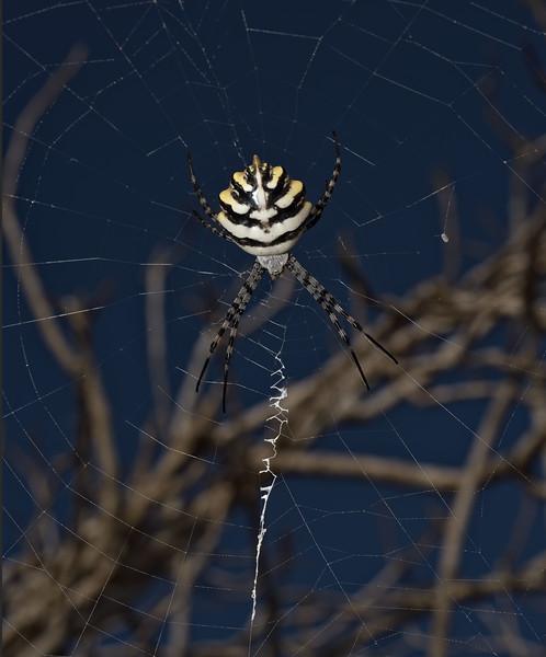 Argiope lobata, October