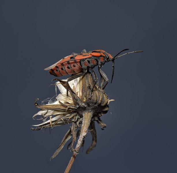 Spilostethus pandurus, March