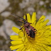 Rhynocoris erythropus, March