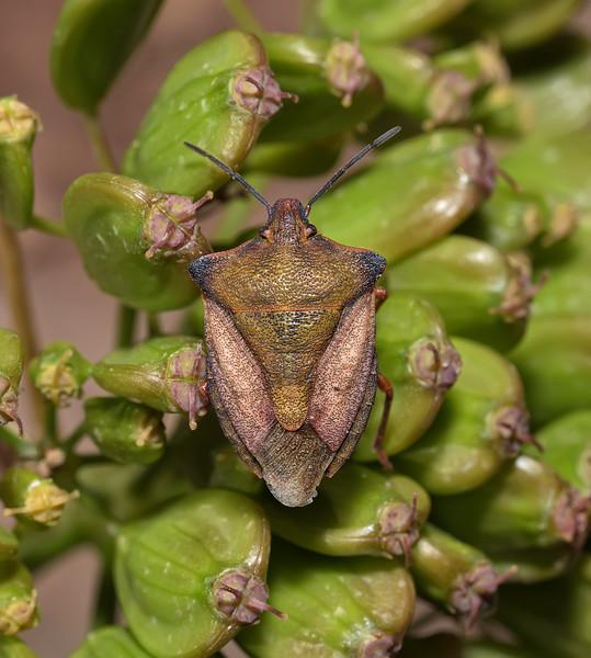 Carpocoris sp, April