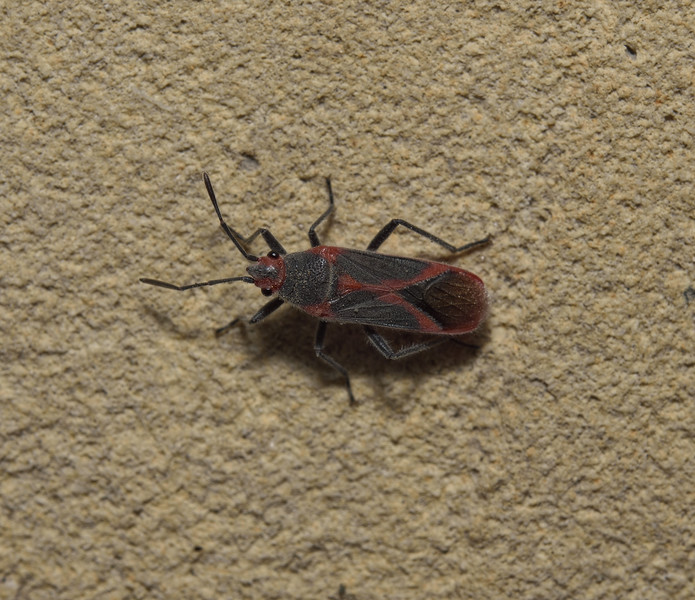 Caenocoris nerii, April