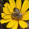 Eucera sp, March