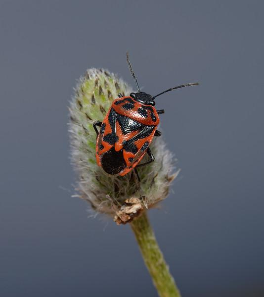 Eurydema ornata, March