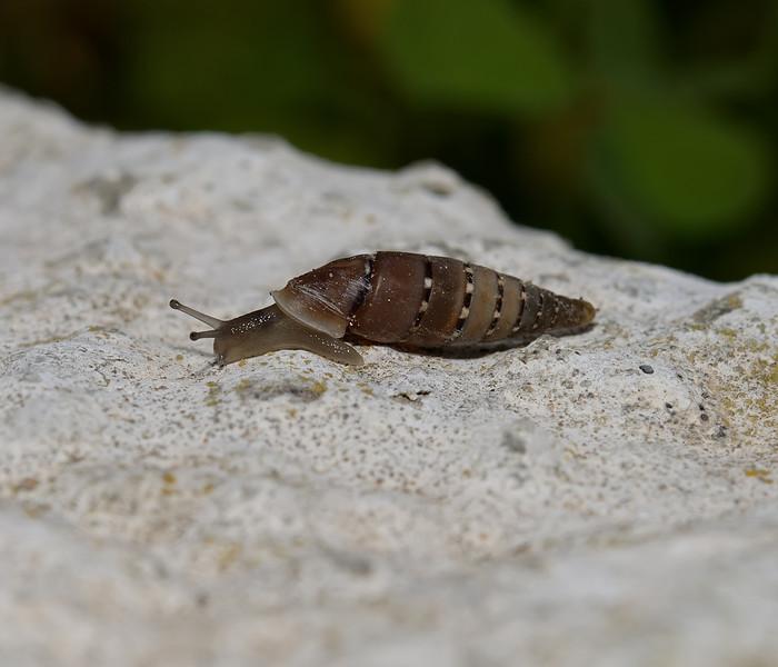 Papillifera papillaris, March