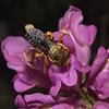 Anthidium siculum, April
