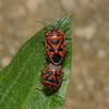 Eurydema ornata pair, March