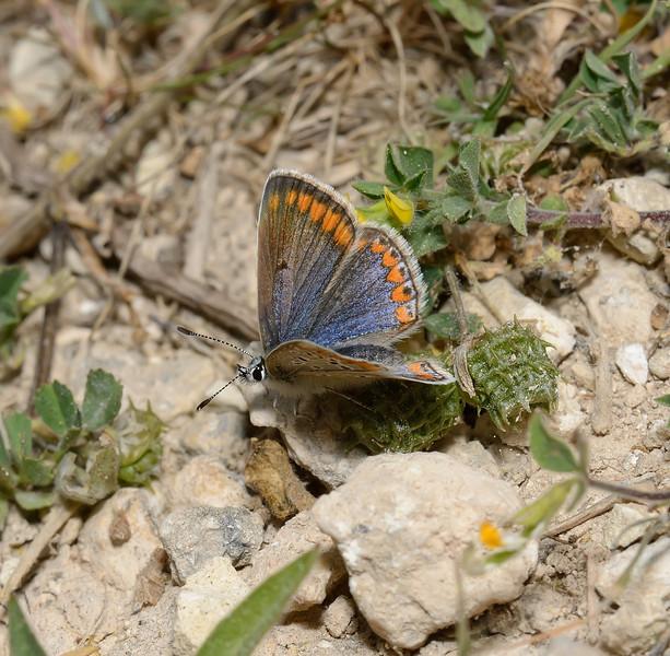 Polyommatus Icarus female, March
