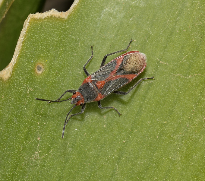 Caenocoris nerii, March