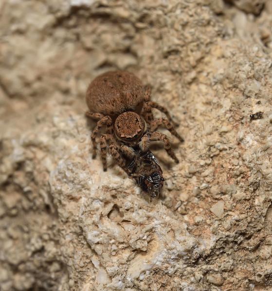 Salticidae sp, April