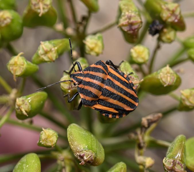 Graphosoma Lineatum, April