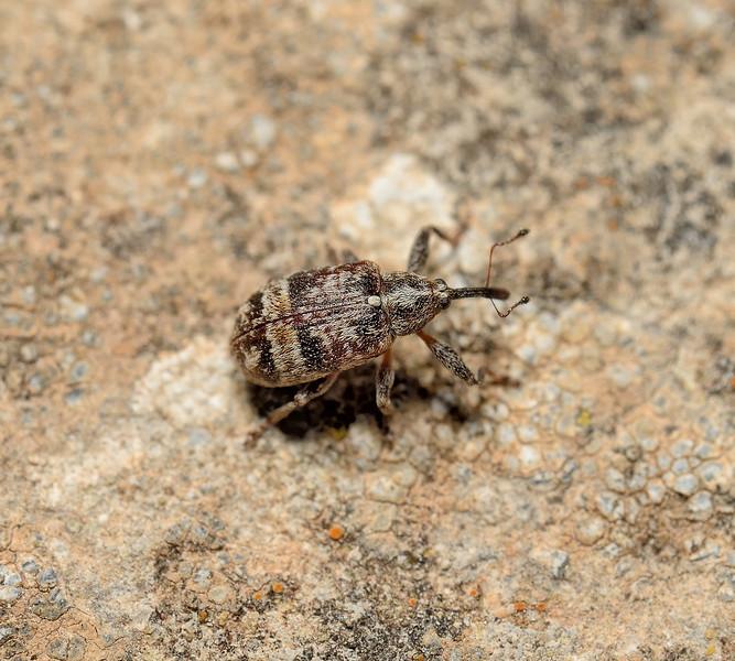 Curculionidae sp, March