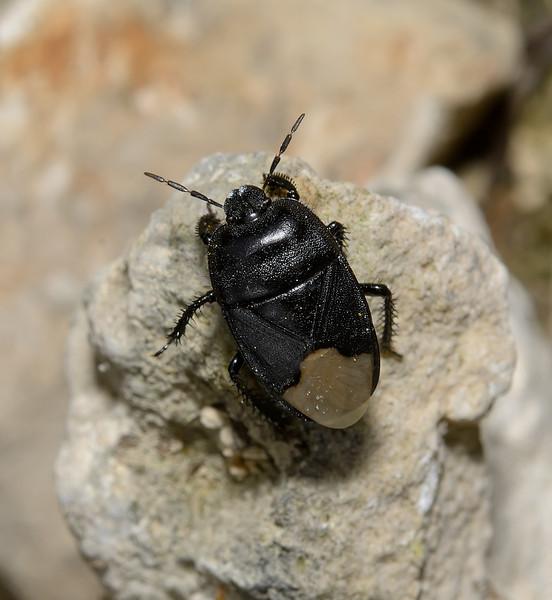 Cydnus aterrimus, March
