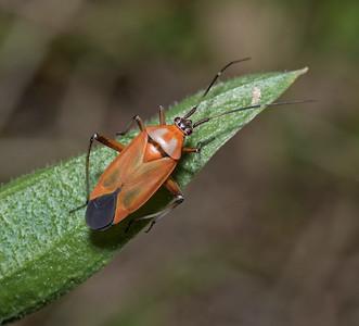 Calocoris nemoralis, March