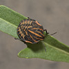 Graphosoma Lineatum nymph, October