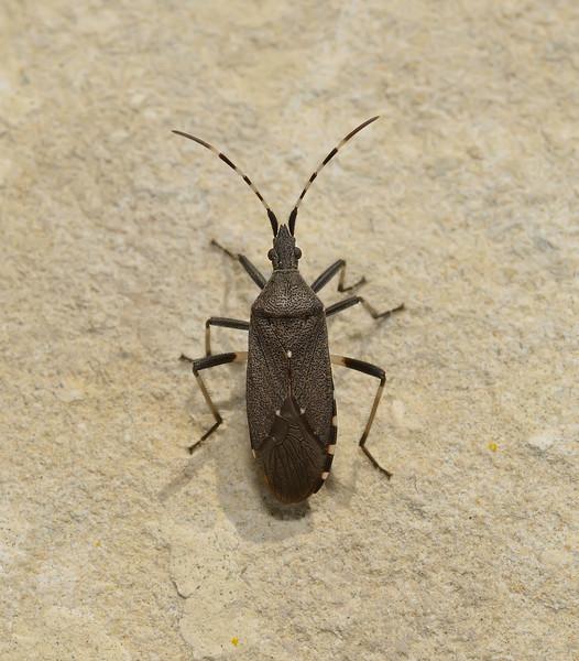 Dicranocephalus marginicollis, March
