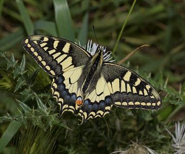 Papilio machaon ssp. melitensis, March