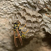 Polistes gallicus, March