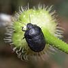 Psacasta exanthematica cerinthe, March