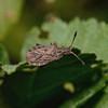 Arenocoris waltlii, March