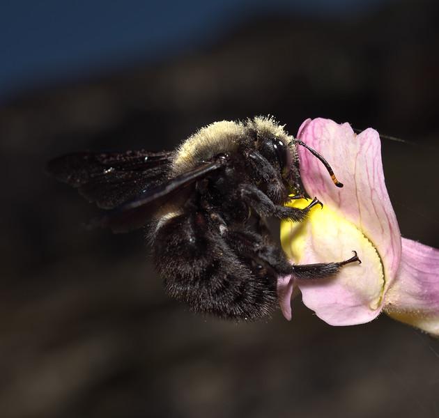 Xylocopa violacea, April