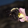 Xylocopa violacea, April
