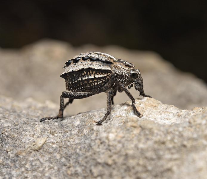 Brachycerus sp, April