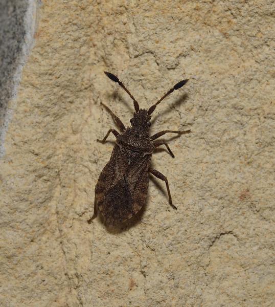 Coreoidea sp, April