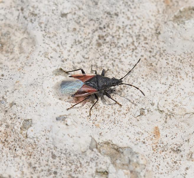 Oxycarenus lavaterae,  April