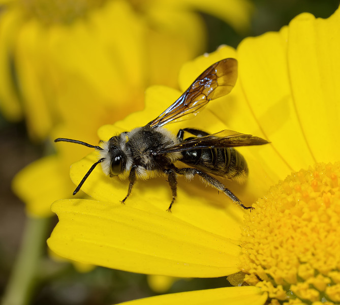 Andrena sp, March