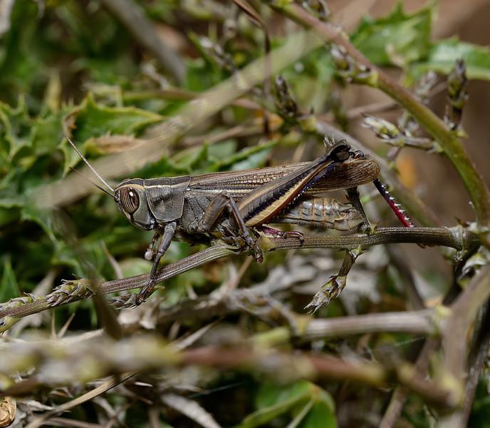 Eyprepocnemis plorans, March