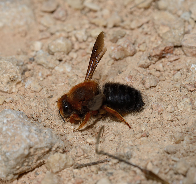 Megachile sicula, April