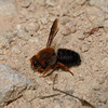 Megachile sicula, April