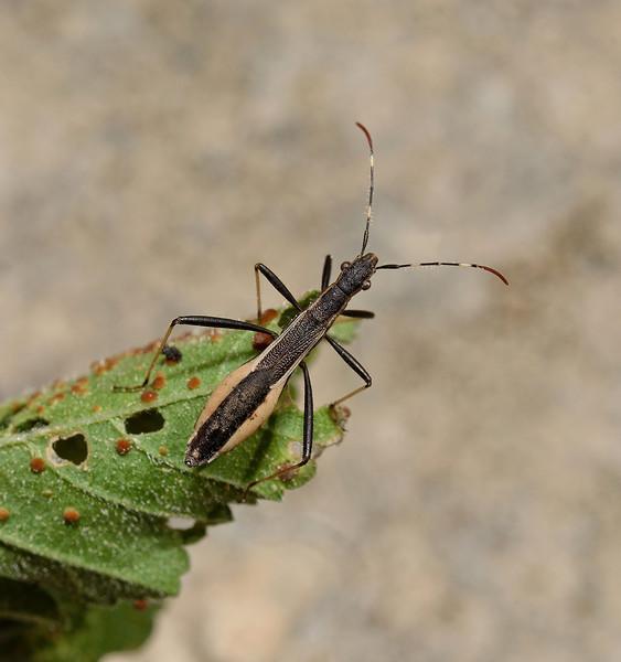 Micrelytra fossularum, March