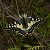 Papilio machaon ssp. melitensis, March