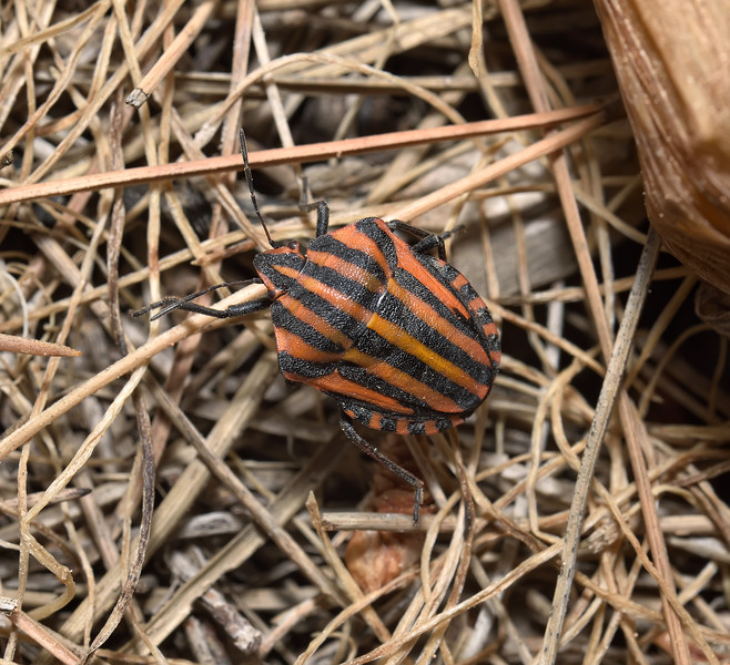 Graphosoma Lineatum, April