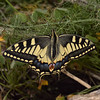 Papilio machaon ssp. melitensis, April