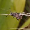 Coreoidea sp, March
