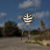 Argiope lobata, October