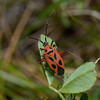 Calocoris nemoralis, March