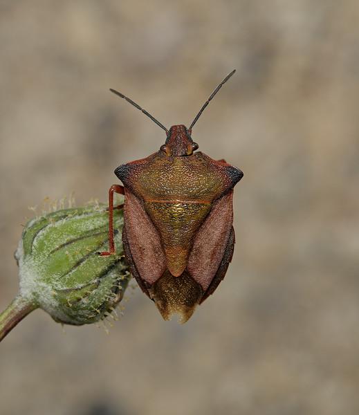 Carpocoris sp, March