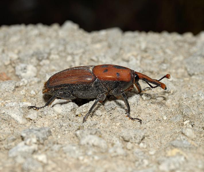 Rhynchophorus ferrugineus, April