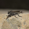Robber fly, October